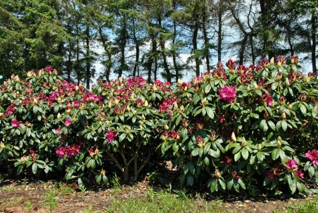 Rhododendron Old Port 4