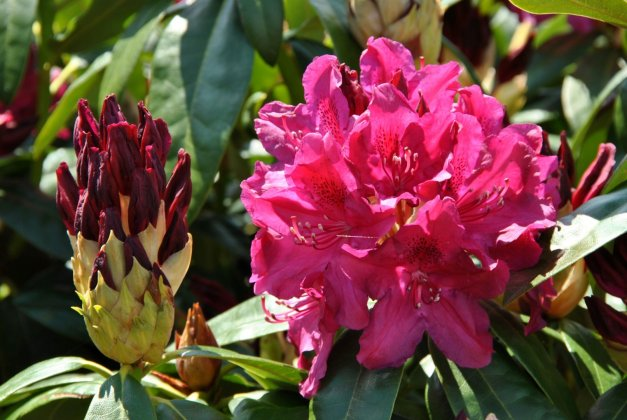 Rhododendron Old Port 8