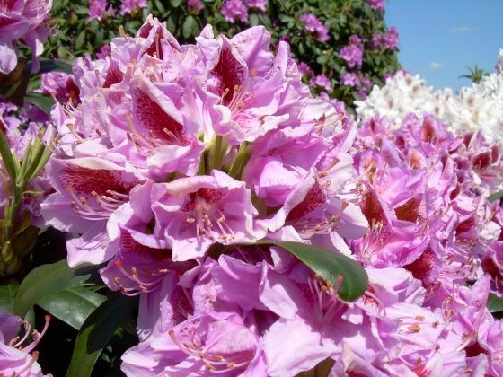 Rhododendron-puccini