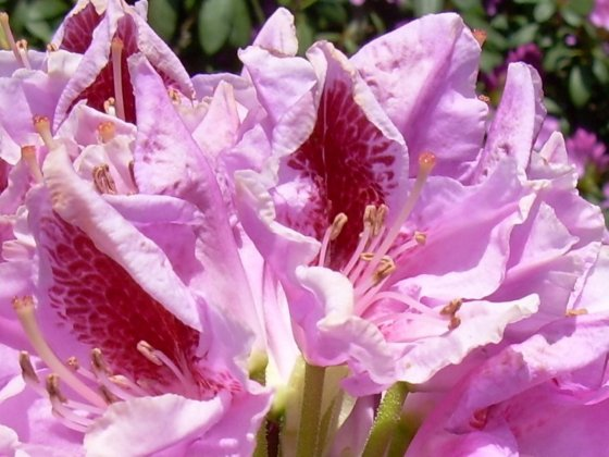 Rhododendron Puccini