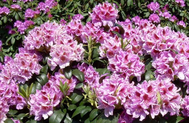Rhododendron Puccini 4