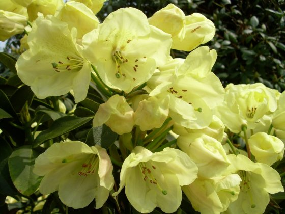 Rhododendron-stadt-westerstede
