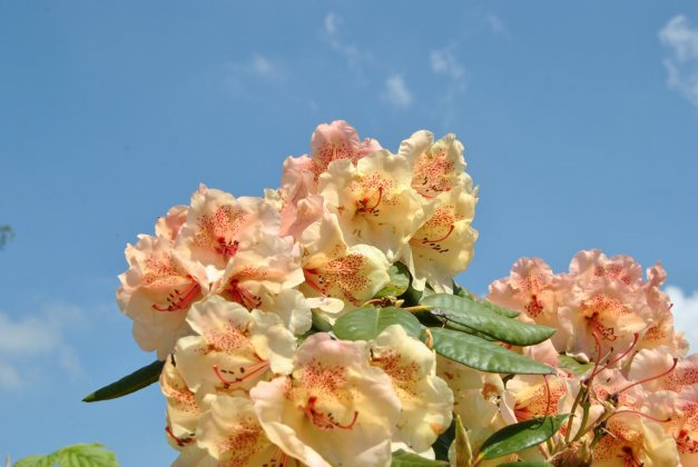 Rhododendron Viscy 4
