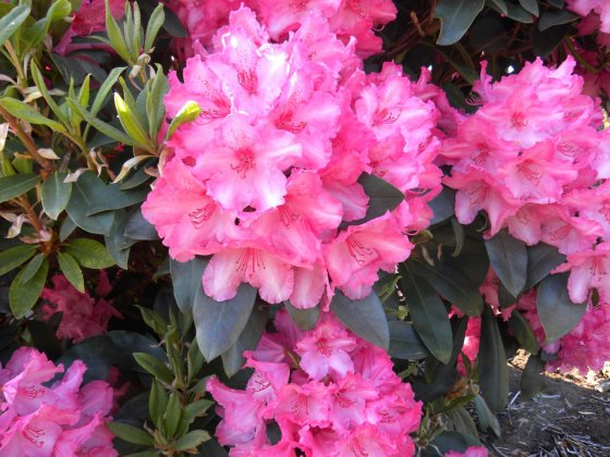 Rhododendron-walkuere