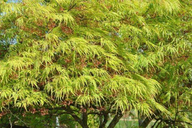 Acer Palmatum Dissectum-1