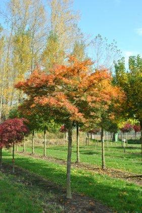 Acer Palmatum Dissectum-2