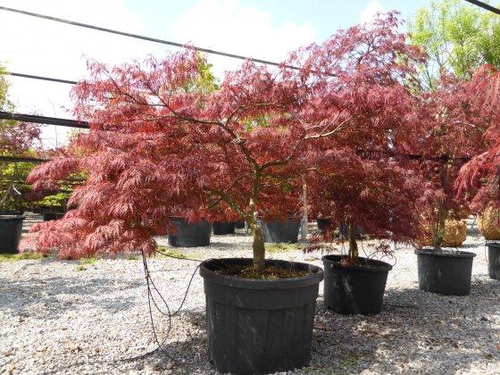 Acer-palmatum-garnet-h100-125-vak5-2