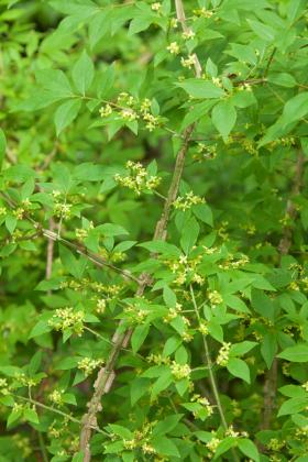 Euonymus Alatus-1