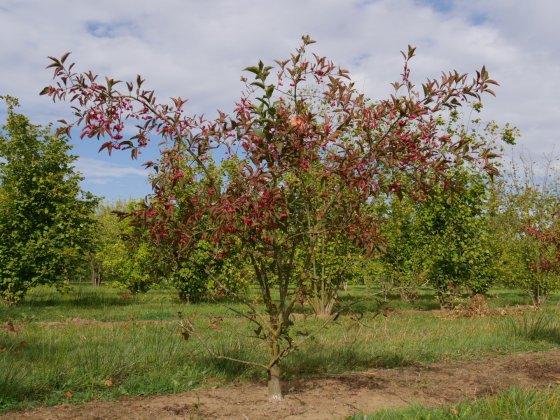Euronymus Europaeus Red Cascade 1