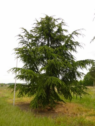 Cedrus-libani-subsp-atlantica
