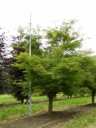 Acer Palmatum Linearilobum 2-1