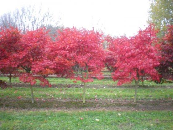 Acer Palmatum Linearilobum 2