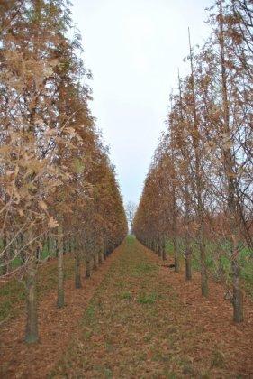 Metasequoia Glyptostroboides Sheridan Spire 1-1