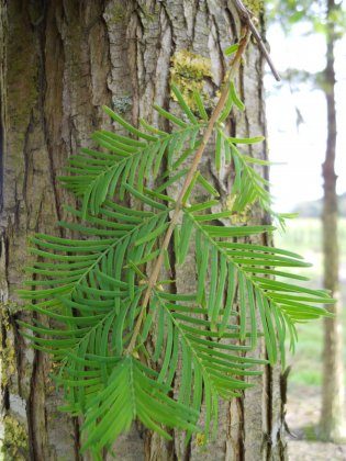 Metasequoia Glyptostroboides Sheridan Spire 1