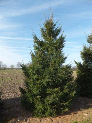 Picea Abies 1-1