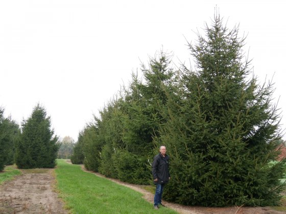Picea Abies 2