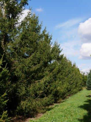 Picea Abies 3