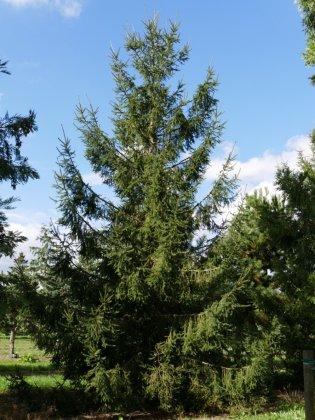 Picea Abies 4