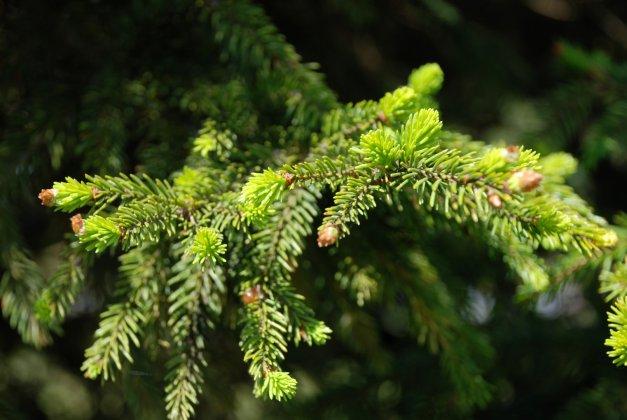 Picea Abies Wills Zwerg 5