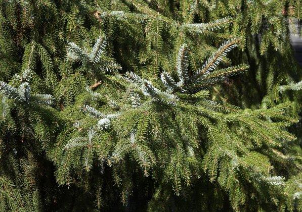 Picea Omorika 1