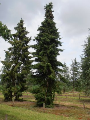 Picea Omorika 2