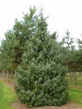 Picea Omorika 4