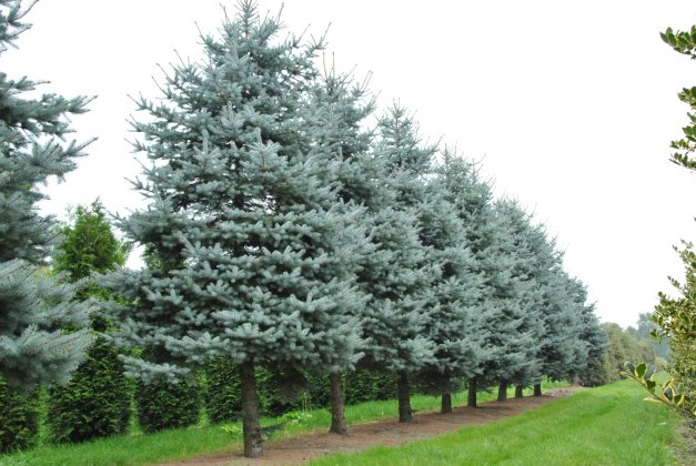Picea-pungens-christmas-blue-blue-diamond