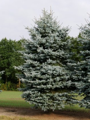 Picea Pungens Christmas Blue 1