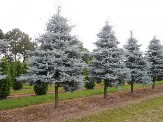 Picea Pungens Christmas Blue 2