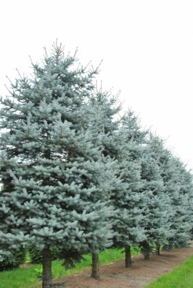 Picea Pungens Christmas Blue 3