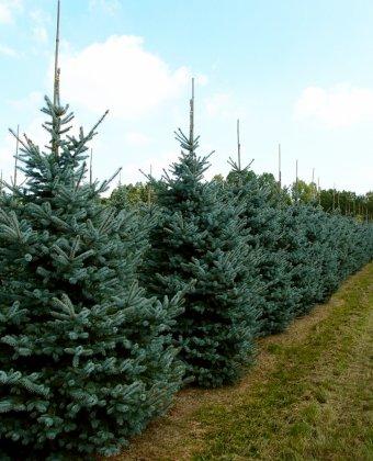 Picea-pungens-erich-frahm