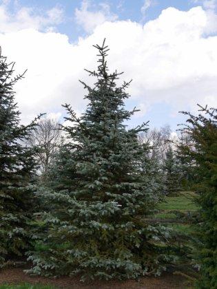 Picea Pungens Erich Frahm 2