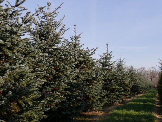 Pinus Pungens Erich Frahm