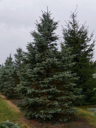 Picea Pungens Fat Albert 3