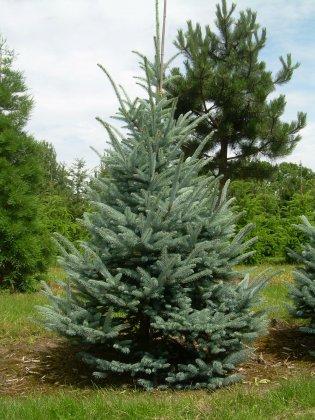 Picea Pungens Fat Albert 4