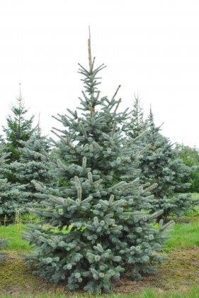 Picea-pungens-hoopsii