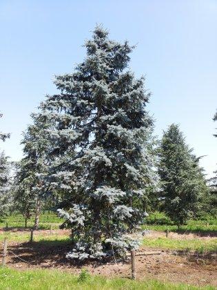 Picea Pungens Hoopsii 1