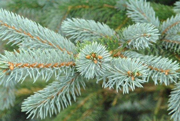 Picea Pungens Hoopsii 2
