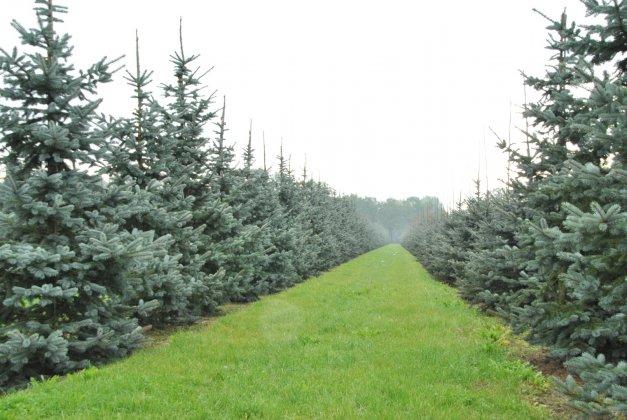 Picea Pungens Hoopsii 4