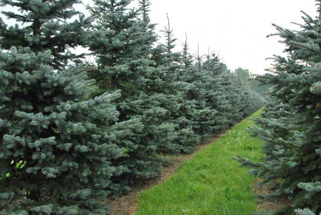 Picea-pungens-snowkiss
