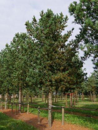 Pinus Cembra 1