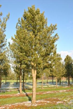 Pinus Cembra 3