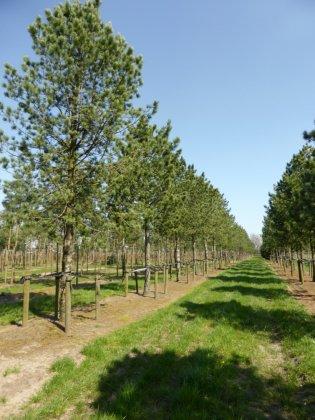 Pinus Cembra 4