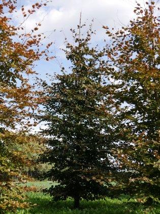 Fagus-sylvatica-atropurpurea-35-40s-ai