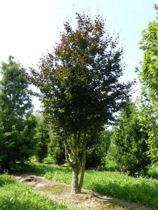 Fagus Sylvatica Atropunicea 1-1