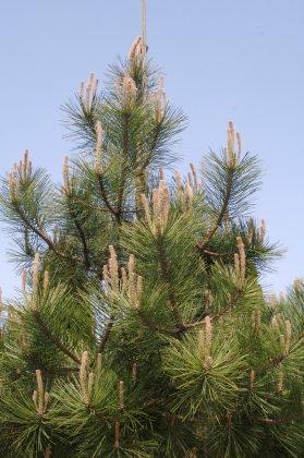 Pinus Nigra Subsp  Nigra-1