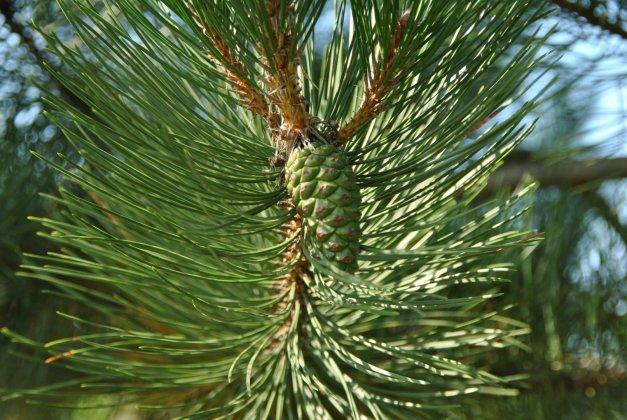Pinus Nigra Subsp  Nigra 1
