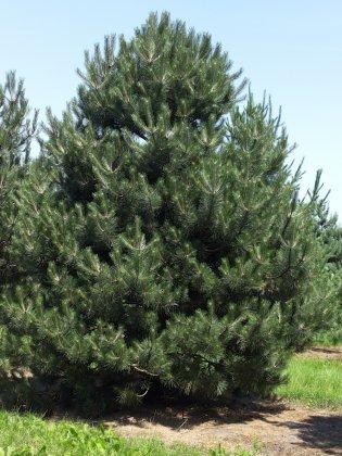 Pinus Nigra Subsp  Nigra 10