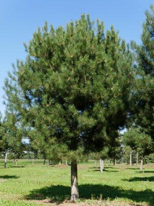 Pinus Nigra Subsp  Nigra 3