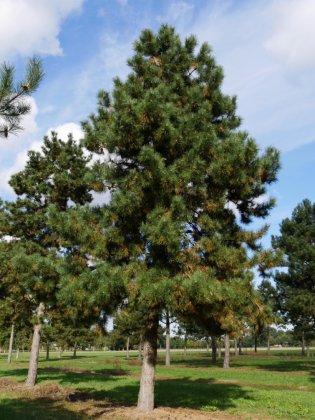 Pinus Nigra Subsp  Nigra 4